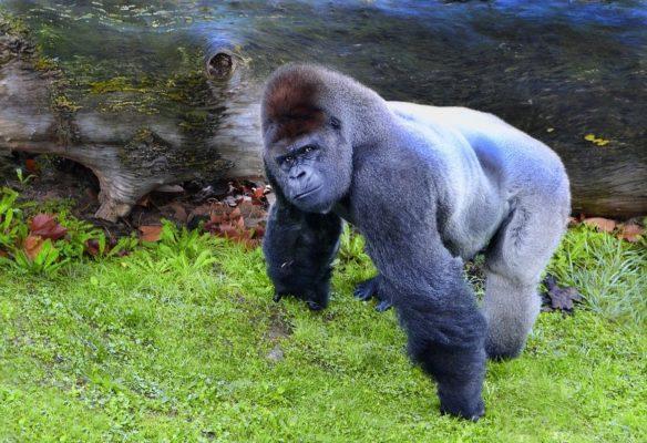 Emile Ouosso parle de l'environnement des gorilles du Congo